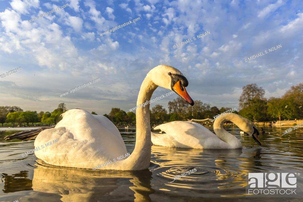Stock Photo: A pair of swans at lake edge in Hyde Park, London, England.