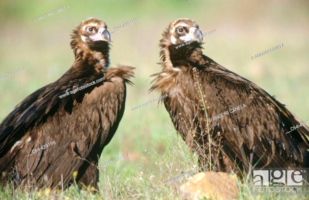 Stock Photo: Black vulture (Aegypius monachus) pair courting. Cabañeros National Park. Ciudad Real. Spain.
