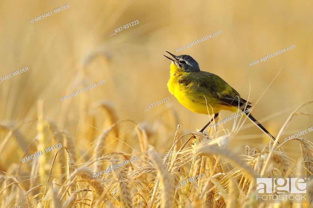 Stock Photo: Yellow Wagtail, Motacilla flava, Germany.