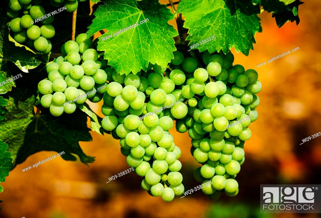 Stock Photo: Grapes growing in a vineyard in the Cotes de Duras, Lot et Garonne, Aquitaine, France.