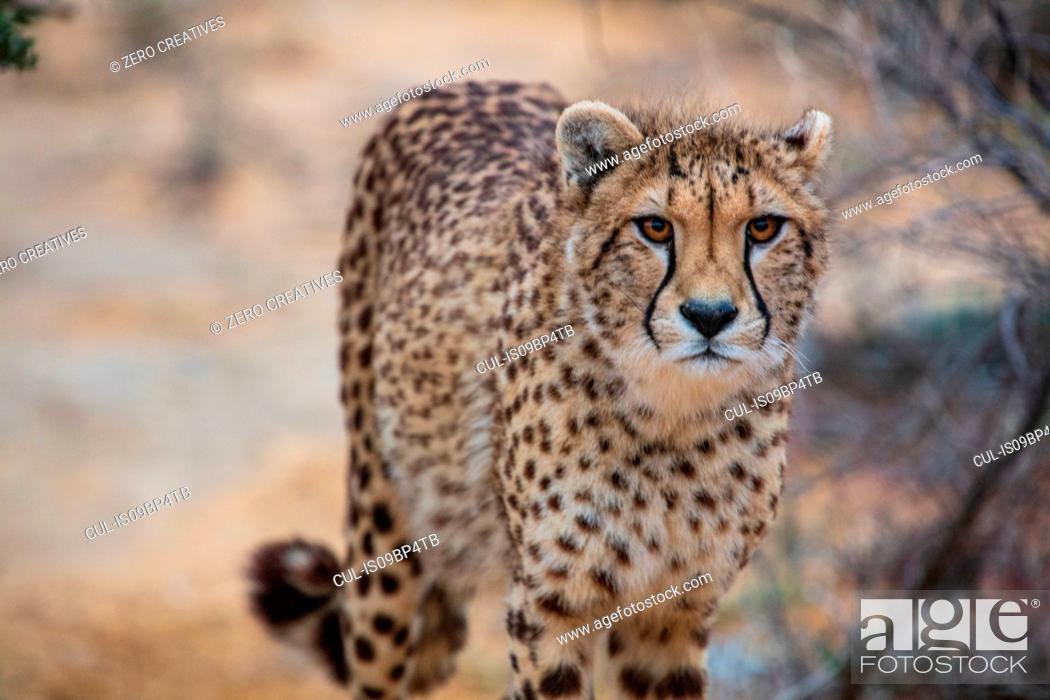 Stock Photo: Cheetah (Acinonyx jubatus).