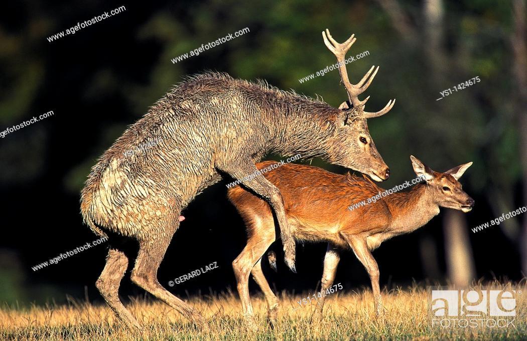 Stock Photo: RED DEER cervus elaphus, PAIR MATING, FRANCE.