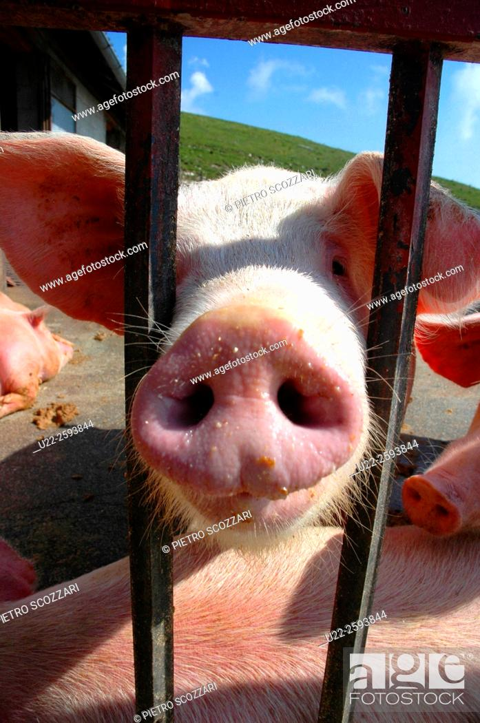 Stock Photo: Close up of a pig nose, in a pigsty.