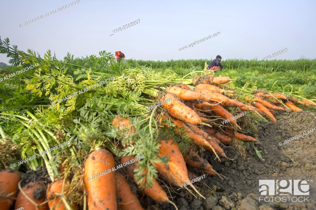 Stock Photo: Carrot is an important vegetable of Bangladesh usually grown in the winter season. Many Bangladeshi people involved with carrot cultivation during winter season.