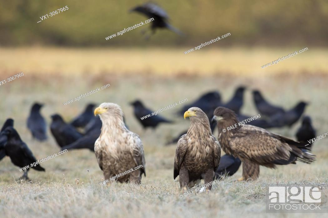 Stock Photo: White tailed Eagles / Sea Eagles ( Haliaeetus albicilla ), adult with juvenile, of different age, sitting together, watching, wildlife, Europe.