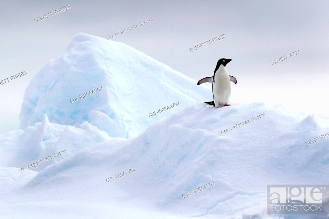 Imagen: Adelie Penguin on ice floe in the southern ocean, 180 miles north of East Antarctica, Antarctica.