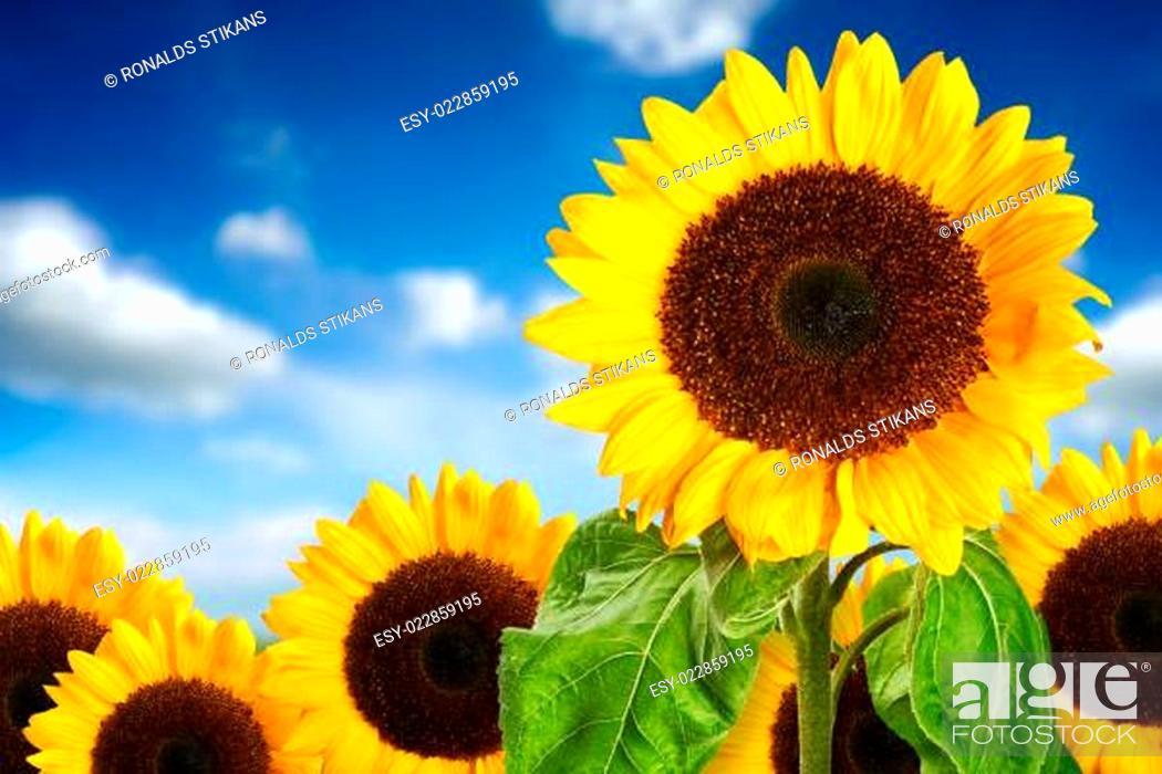 Stock Photo: sunflower field against blue sky.