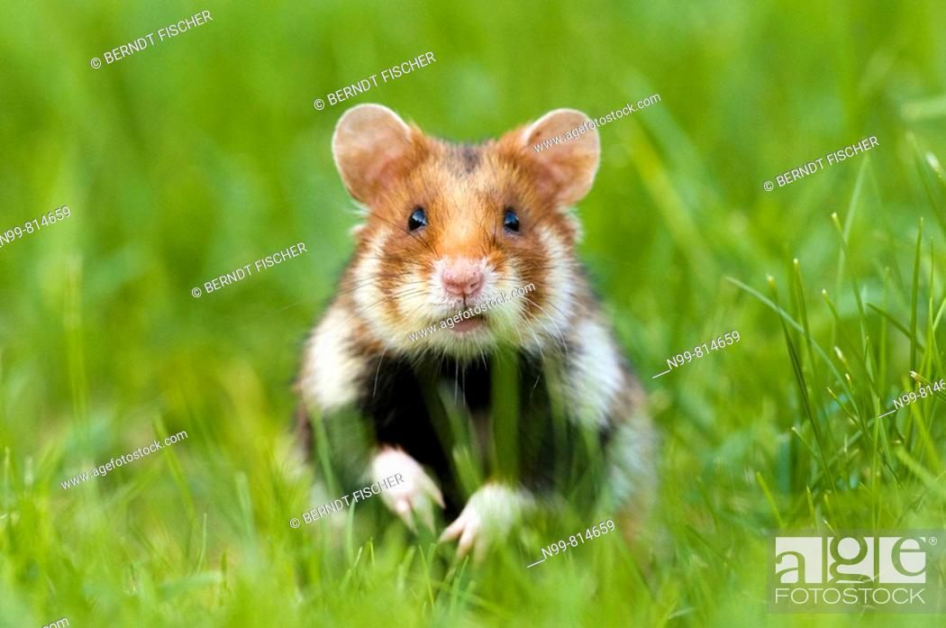 Stock Photo: Common hamster (Cricetus cricetus), standing in grass, urban biotope in the city of Vienna, Austria.