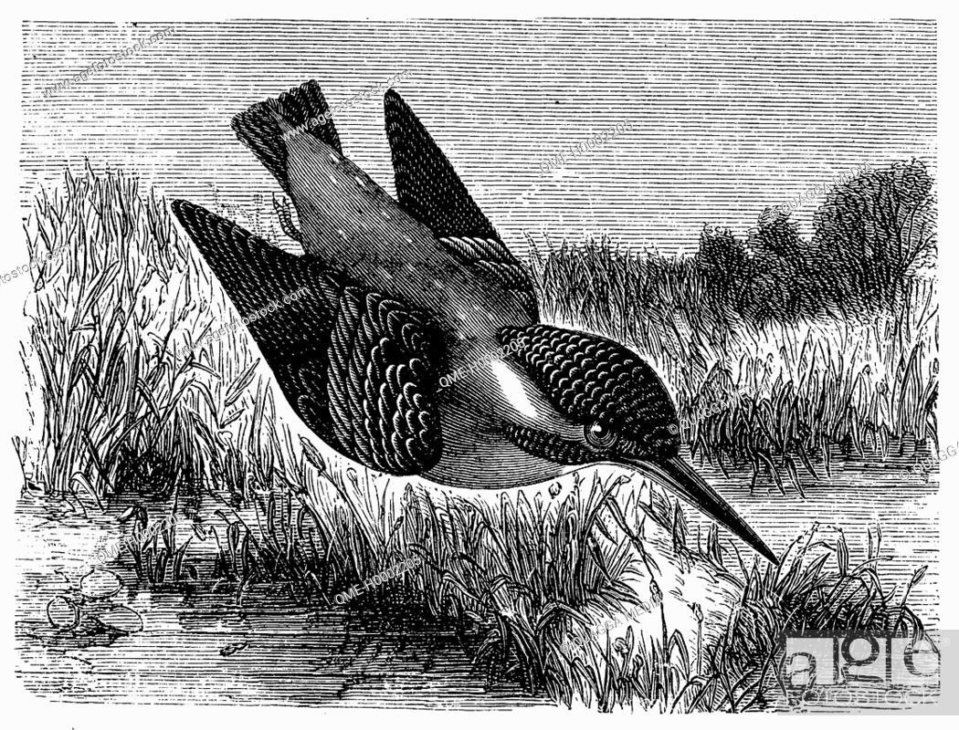 Stock Photo: Kingfisher.