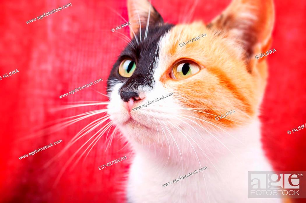 Stock Photo: Cute Calico Cat on the Brightly Red Background.