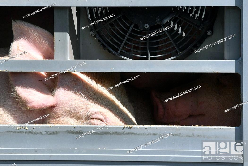Stock Photo: 02 July 2020, Saxony-Anhalt, Weißenfels: Pigs can be seen behind the barred window of an animal transport in front of Tönnies slaughterhouse in Weißenfels.