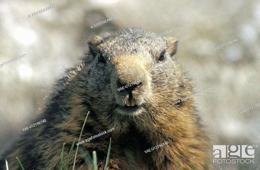 Stock Photo: tiergesicht, animal, animal head, austria, calf, close-up, direct.