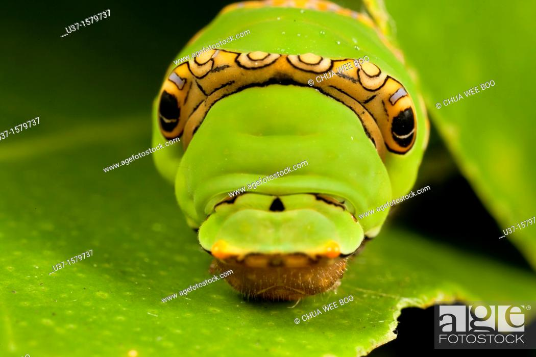 Stock Photo: Caterpillar lives on lemon tree.