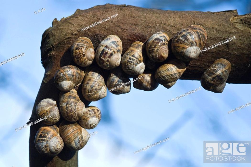 Stock Photo: Garden Snail Helix aspersa adults, group hibernating on tree branch, Brancaster, Norfolk, England, march.