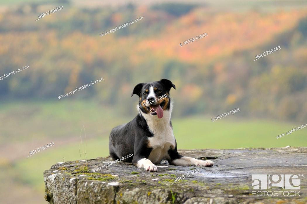 Appenzeller Sennenhund Or Appenzell Mountain Dog Germany