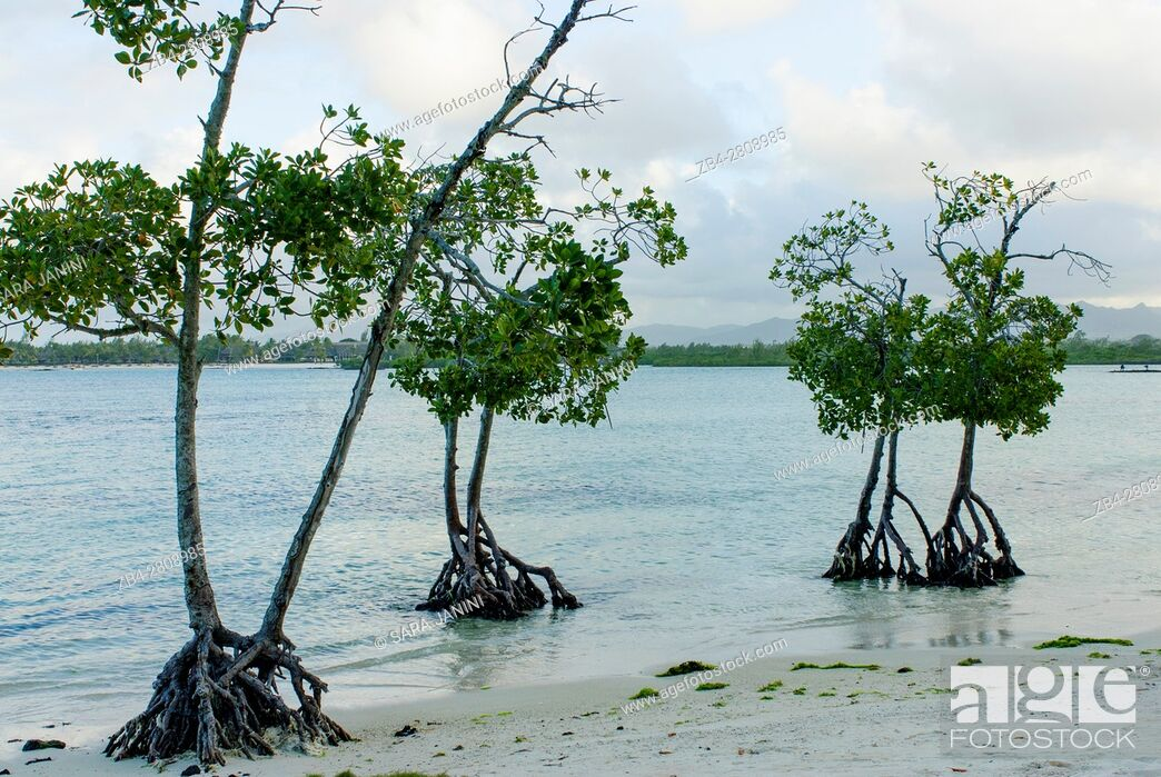 Stock Photo: Mangrove Ecosystem at Poudre D'or Reserve, Mauritius, Indian Ocean, Africa.