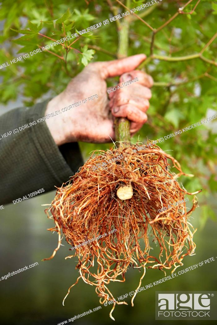 Air Layering A Bonsai Maple Tree Old Trunk And Roots Stock Photo Picture And Rights Managed Image Pic Dod Al1059455 Agefotostock