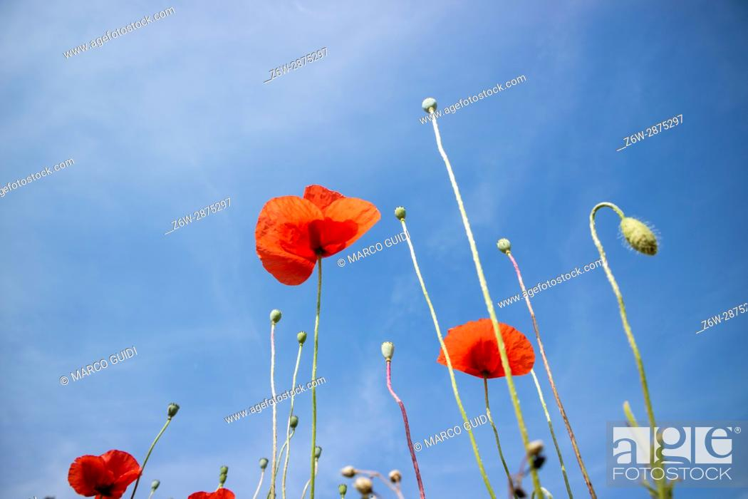 Stock Photo: Low angle view of a group of poppies projected in um blue sky.