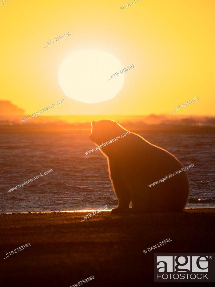 Imagen: Alaska Arctic Polar Bear Sunset.