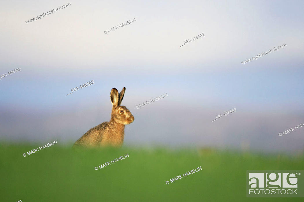 Stock Photo: Brown Hare (Lepus capensis) resting in grass field. Scotland. April.