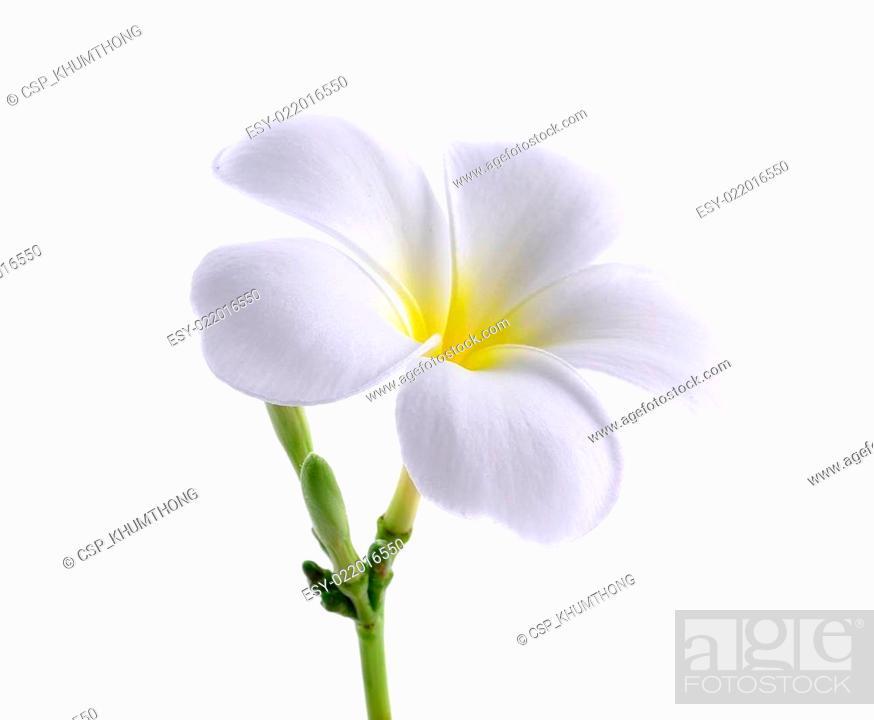 Stock Photo: Frangipani or Plumeria isolated on the white background.