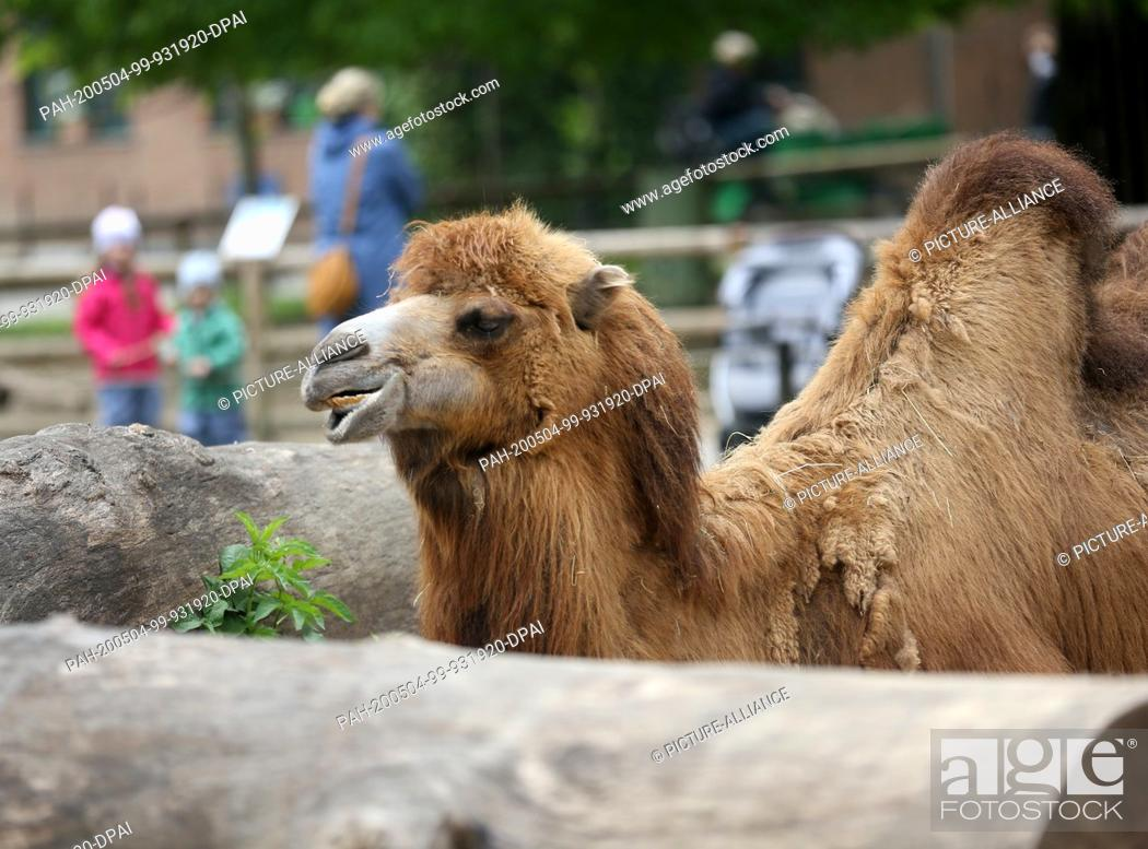 Stock Photo: 04 May 2020, North Rhine-Westphalia, Krefeld: Children looking at a camel in Krefeld Zoo. As of today, museums and music schools as well as zoos are open again.