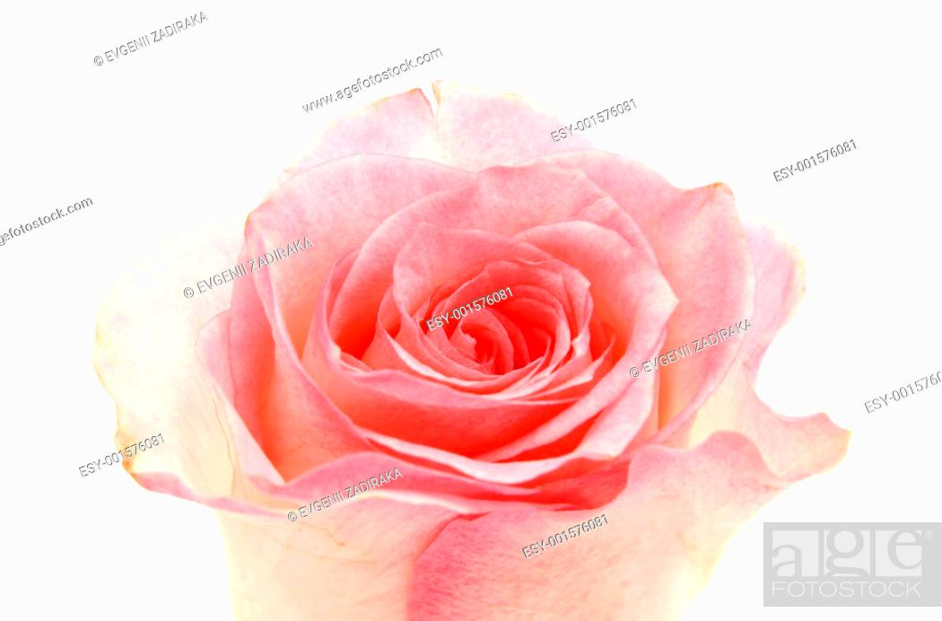 Stock Photo: Rose on a white background.