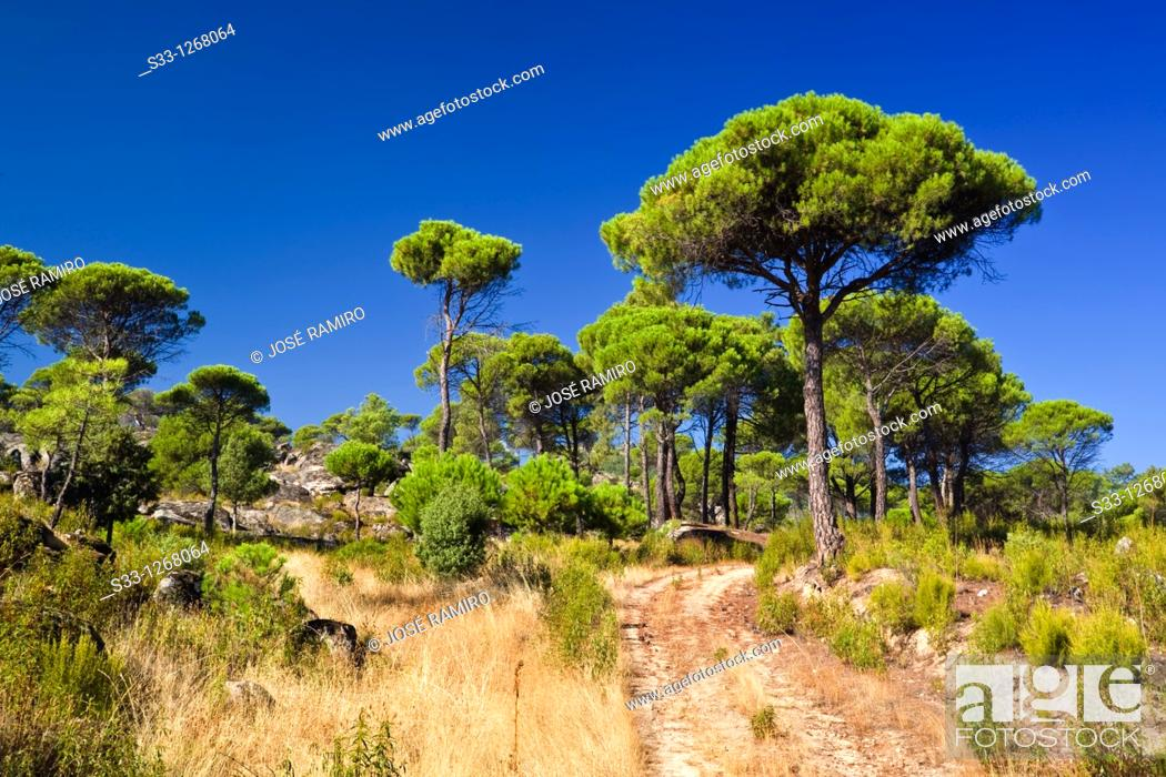Stock Photo: The Concejo pineswood in Cadalso de los Vidrios Madrid Spain.