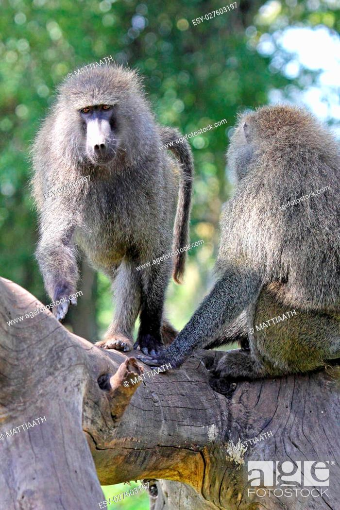 Stock Photo: A couple of adult olive baboons, Papio Anubis on a dead tree.