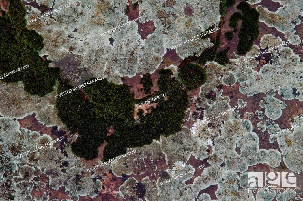 Imagen: Lichens Caloplaca carphinea and moss. Monfrague National Park. Caceres. Extremadura. Spain.