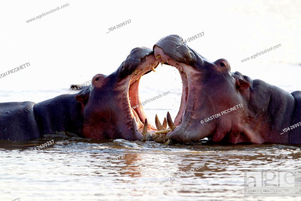 Imagen: Hippopotamus (Hippopotamus amphibius), fighting, Kruger National Park, South Africa.