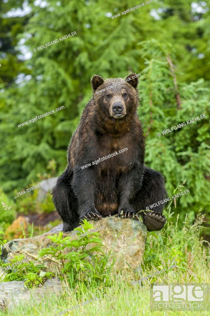 Stock Photo: A Grizzly bear is sitting on a rock at the wildlife park at Grouse Mountain in Vancouver, British Columbia, Canada.
