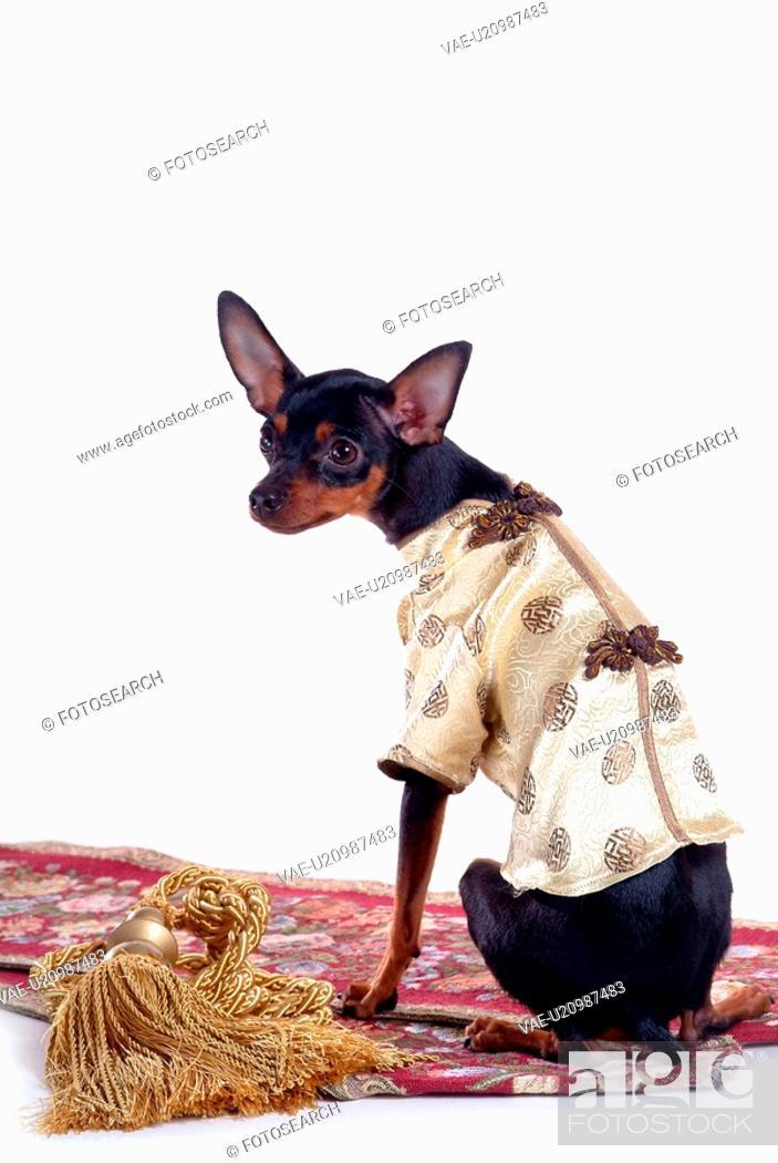 Stock Photo: companion, pinscher, house pet, canines, domestic, miniature pinscher.