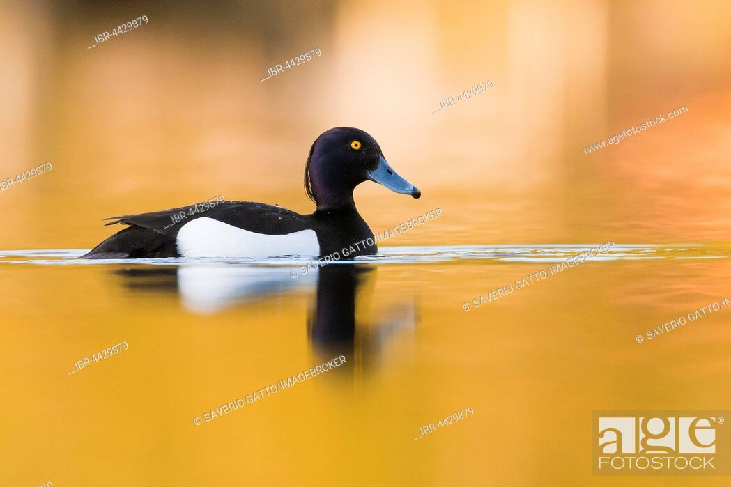 Stock Photo: Tufted Duck (Aythya fuligula), adult male swimming in the water with golden reflections, Virkkula, Northern Ostrobothnia, Finland.