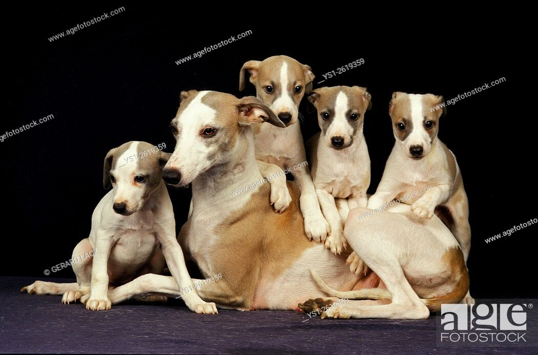 Stock Photo: Whippet Dog, Mother and Pup against Black Background.