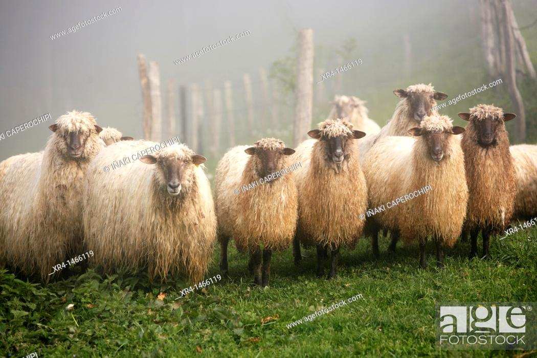 Stock Photo: Latxa Sheep in the Massif of Izarraitz, Guipuzcoa, Gipuzkoa, Euskadi, Basque Country, Spain.