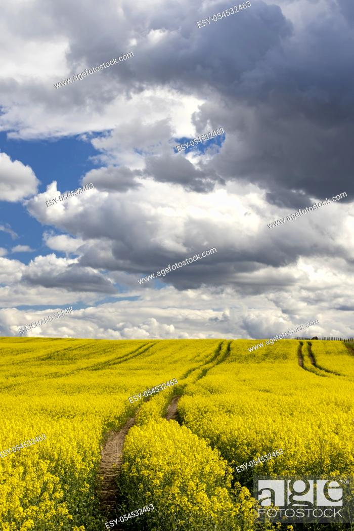 Stock Photo: Rapeseed field in Central Bohemia, Czech Republic.