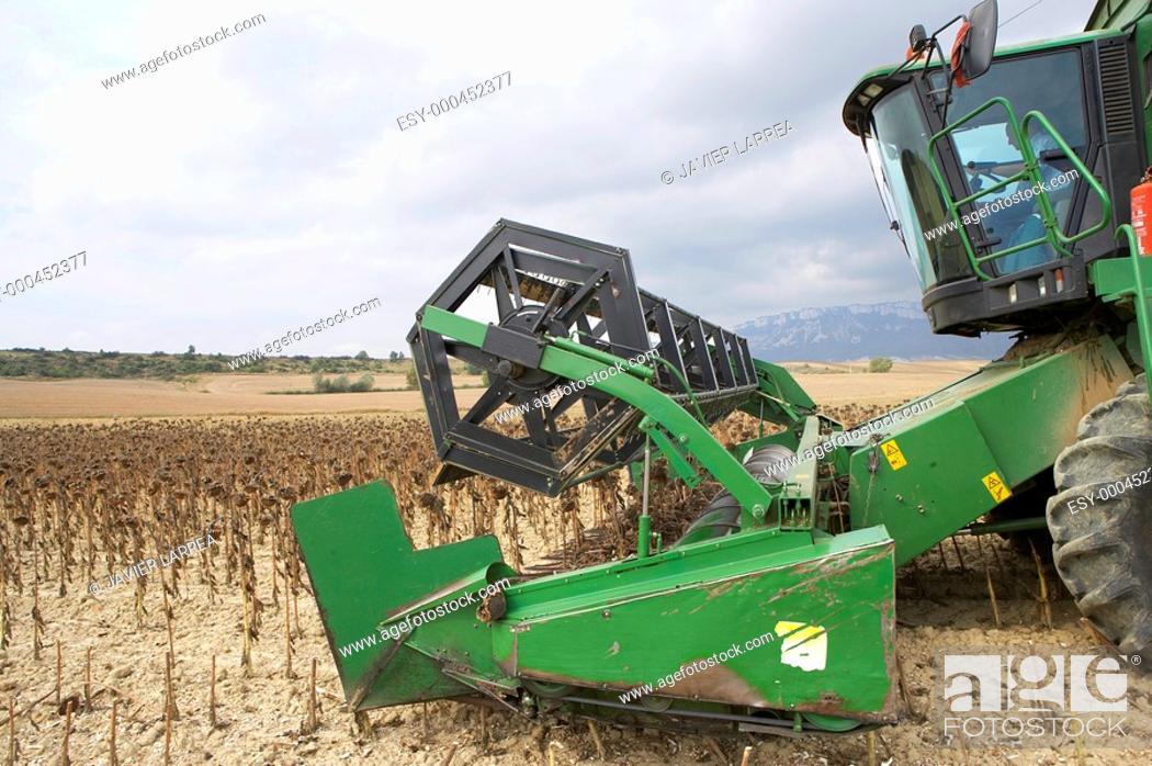 Stock Photo: Sunflower crop, near Estella, Navarre, Spain.