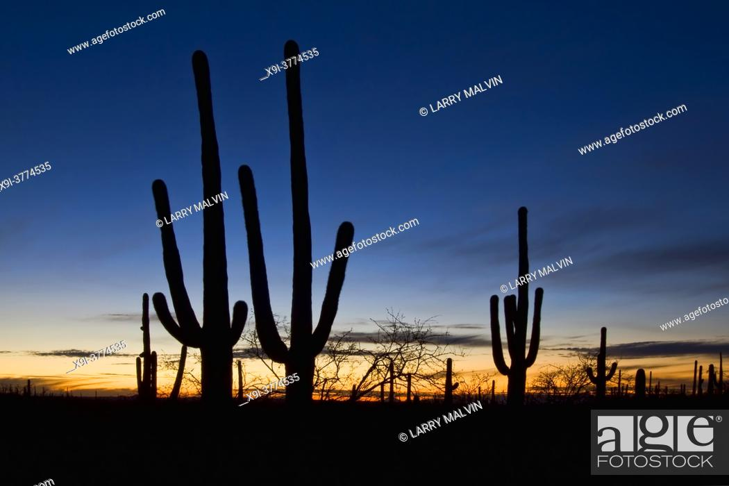 Stock Photo: Saguaro cacti at sunset in Saguaro National Park, Arizona.