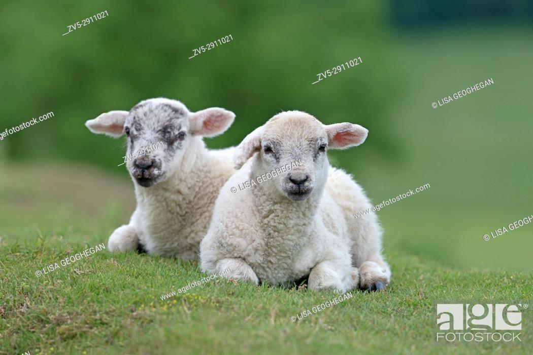 Stock Photo: Pair of Lambs-Ovis aries on the Yorkshire Moors, Yorkshire, England, Uk.