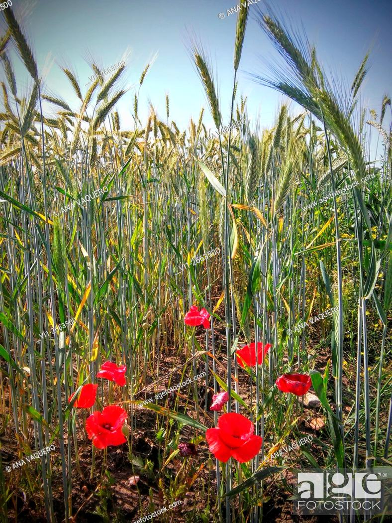 Stock Photo: Poppies in the wheat field, Miajadas, Cáceres province, Extremadura, Spain.