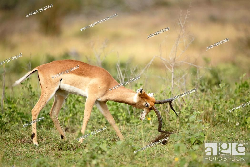 Imagen: Impala (Aepyceros melampus) male, advertising aggressive mood with vegetation horning, South Africa, Mpumalanga, Kruger National Park.