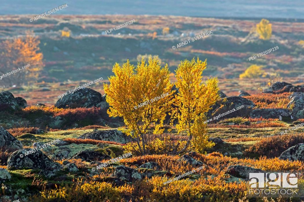 Stock Photo: European white birches / downy birch / moor birch (Betula pubescens / Betula alba) on the tundra in autumn, Rondane National Park, Dovre, Oppland, Norway.