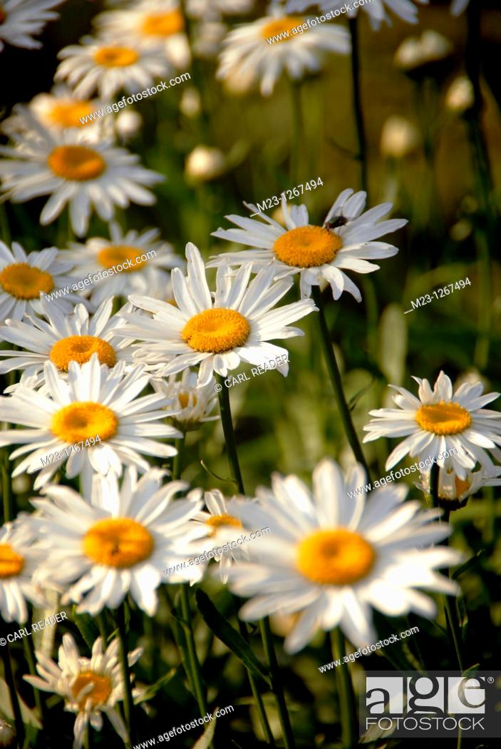Stock Photo: One daisy stands out among many, Pennsylvania, USA.