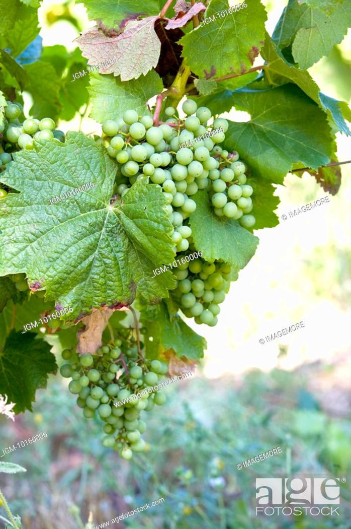 Stock Photo: Grapes on vine tree in France.