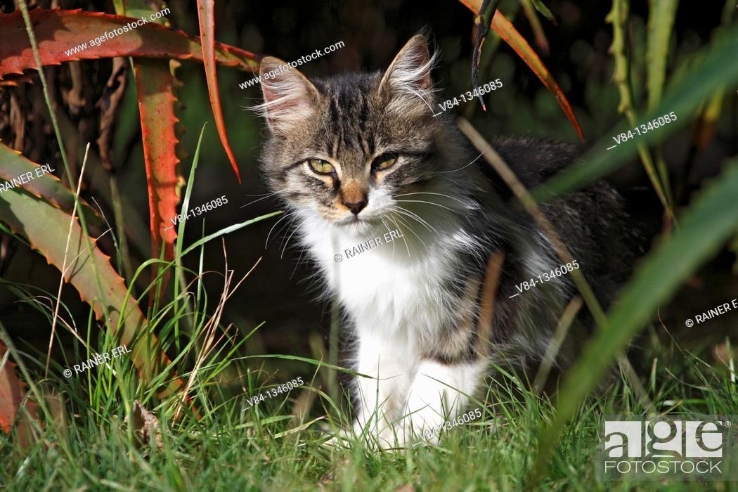 Stock Photo: Cat / Sao Miguel Island / Azores / Portugal.