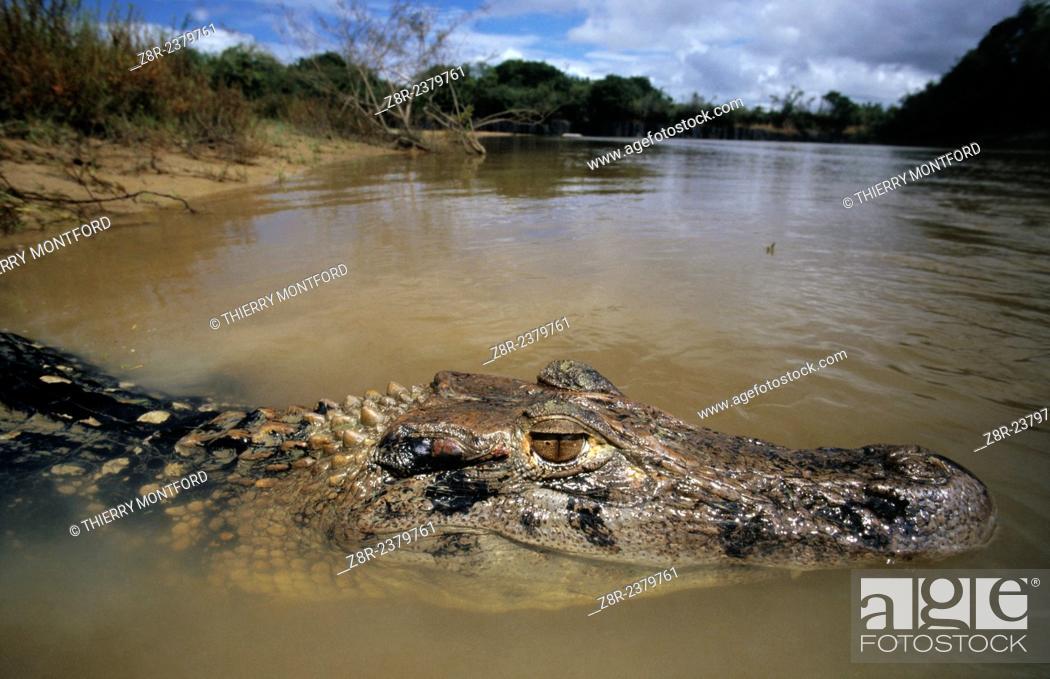 Stock Photo: Melanosuchus niger. Black caiman in Simoni creek. Rupununi area. Guyana.