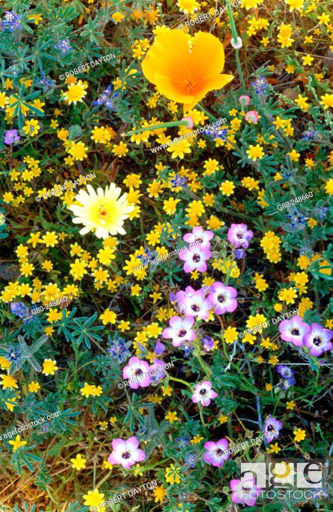 Stock Photo: Wildflowers. Antelope Valley. California. USA.