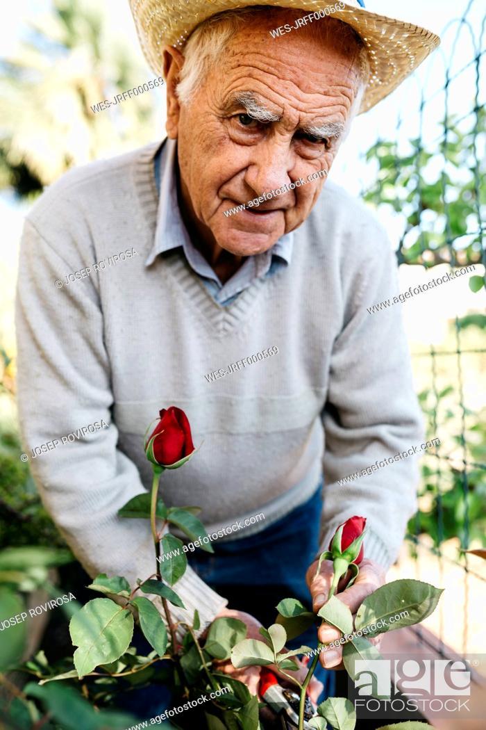Stock Photo: Portrait of senior man cutting rose in the garden.