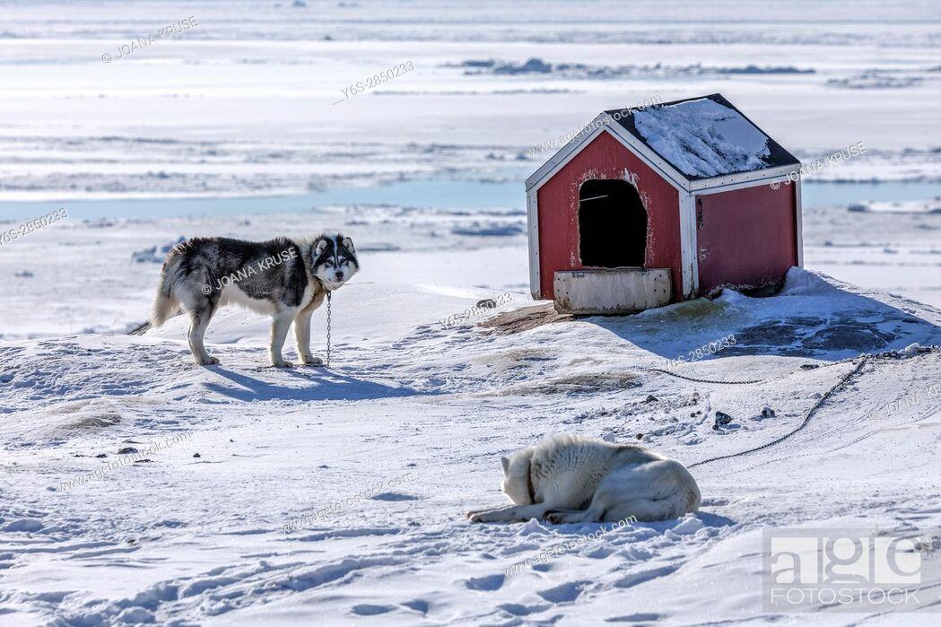 Stock Photo: Husky dog in Ilulissat, Greenland.